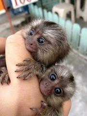 Baby KEWNB Pairs Capuchin pygmy marmoset are available