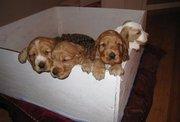 English cockier spaniel puppies(chantehc@yahoo.com)