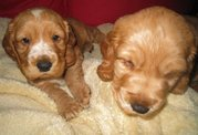 cute English cockier spaniel puppies(chantehc@yahoo.com)