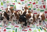 AFFECTIONATE Basel hound puppies(chantehc@yahoo.com)