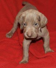 Smart Weimaraner puppies for sale