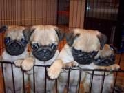 12week beautiful fawn pug for kids.