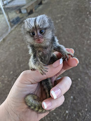 8 Little Capuchin marmoset Babies cute