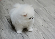 HJRE friendly,  and sociable Pomeranian For Sale CALL 07031956739