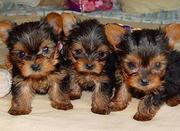 Cute And Adorable male And Female Teacup Yorkie Puppies