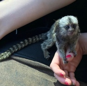 FFB Pairs Capuchin pygmy marmoset available 07031956739