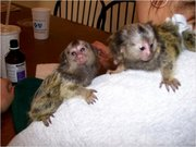 8 B Pairs Capuchin pygmy marmoset available 07031956739