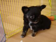 Adorable  Akc Tiny Chihuahua Puppies Available For Adoption