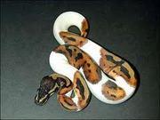 xmass python