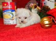 Registered Male And Female Maltese Puppies For Sale.
