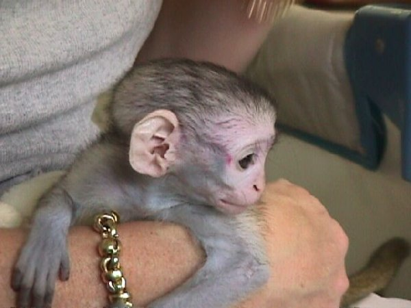 capuchin monkeys for adoption for sale in Birmingham ...
