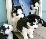 Black and white Siberian Husky puppies for sale