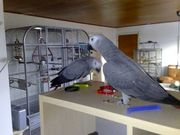 hand fed african grey parrots for sale