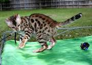 Male and Female Serval Kittens for Good Homes